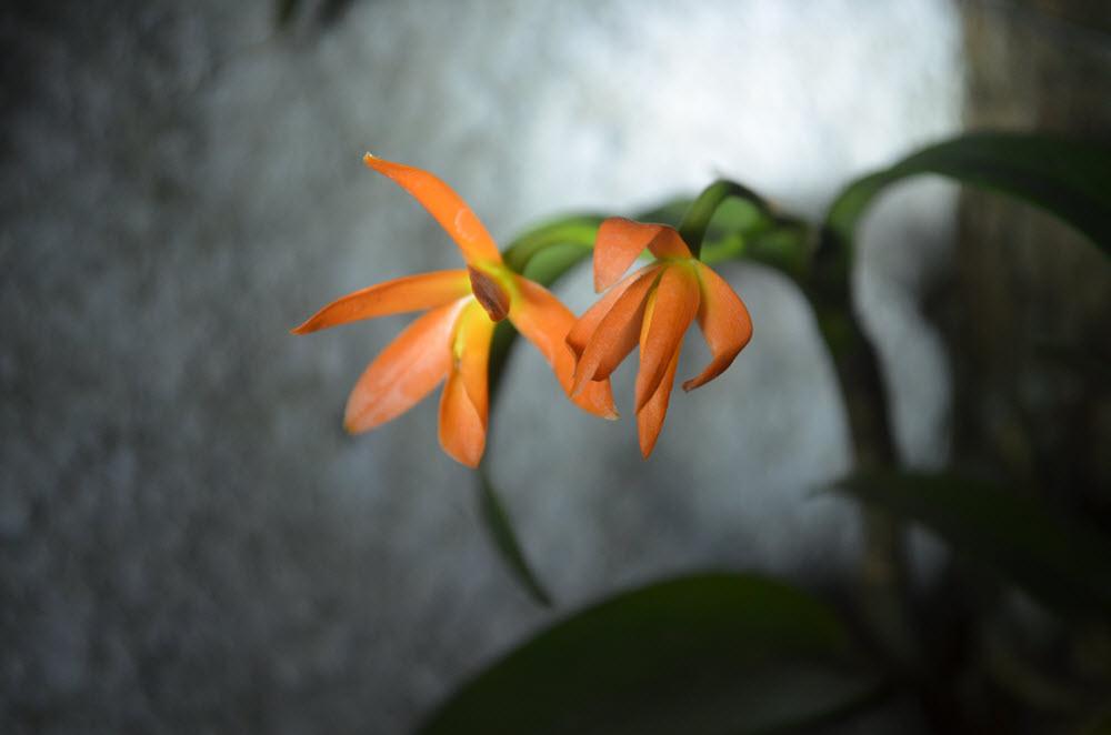 Guarianthe aurantiaca
